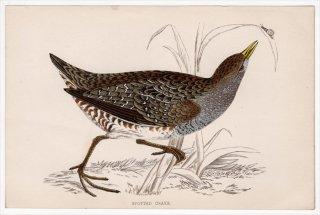 1888年 Morris 英国鳥類史 小型版 クイナ科 ヒメクイナ属 コモンクイナ SPOTTED CRAKE