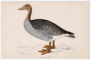 1888年 Morris 英国鳥類史 小型版 カモ科 マガン属 ハイイロガン GREY-LAG GOOSE