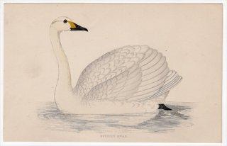 1888年 Morris 英国鳥類史 小型版 カモ科 ハクチョウ属 コハクチョウ BEWICK'S SWAN