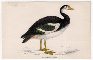1888年 Morris 英国鳥類史 小型版 カモ科 ツメバガン属 ツメバガン SPUR-WINGED GOOSE