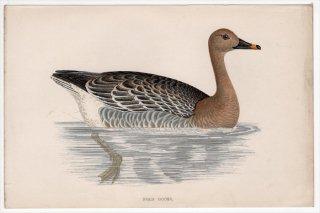 1888年 Morris 英国鳥類史 小型版 カモ科 マガン属 ヒシクイ BEAN GOOSE