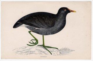 1888年 Morris 英国鳥類史 小型版 クイナ科 バン属 バン MOORHEN