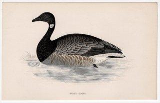1888年 Morris 英国鳥類史 小型版 カモ科 コクガン属 コクガン BRENT GOOSE