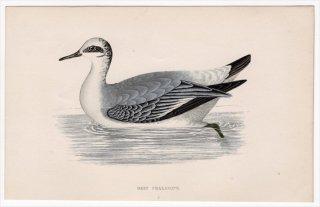 1888年 Morris 英国鳥類史 小型版 シギ科 ヒレアシシギ属 ハイイロヒレアシシギ GREY PHALAROPE
