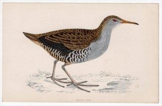 1888年 Morris 英国鳥類史 小型版 クイナ科 クイナ属 クイナ WATER RAIL