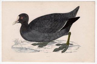 1888年 Morris 英国鳥類史 小型版 クイナ科 オオバン属 オオバン COOT
