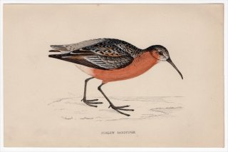 1888年 Morris 英国鳥類史 小型版 シギ科 オバシギ属 サルハマシギ CURLEW SANDPIPER