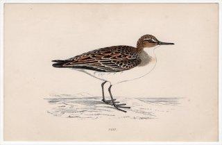 1888年 Morris 英国鳥類史 小型版 シギ科 オバシギ属 ヒレアシトウネン PEEP