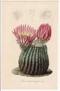 1853年 Van Houtte ヨーロッパの植物 サボテン科 エキノケレウス属 Echinocactus pectiniferus Lem 多肉植物