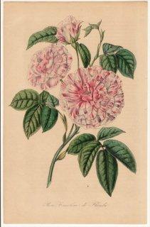 1858年 Van Houtte ヨーロッパの植物 バラ科 バラ属 Rose tricolore de Flandre オールドローズ