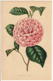 1858年 Van Houtte ヨーロッパの植物 ツバキ科 ツバキ属 Comte de Paris