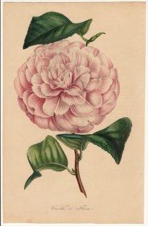 1849年 Van Houtte ヨーロッパの植物 ツバキ科 ツバキ属 Vexillo di Flora