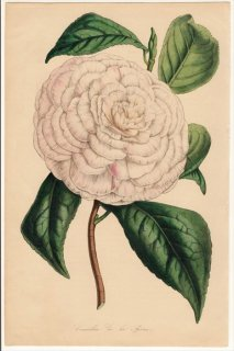 1846年 Van Houtte ヨーロッパの植物 ツバキ科 ツバキ属 Camellia de la Reine