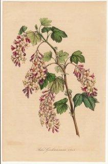 1846年 Van Houtte ヨーロッパの植物 スグリ科 スグリ属 Ribes gordonianum