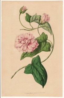 1846年 Van Houtte ヨーロッパの植物 ヒルガオ科 ヒルガオ属 ヒルガオ Calystegia pubescens Lindl