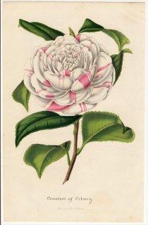 1848年 Van Houtte ヨーロッパの植物 ツバキ科 ツバキ属 Countess of Orkney