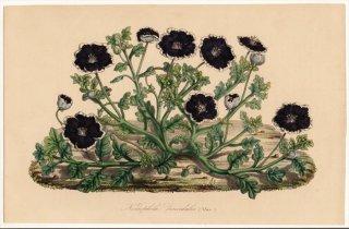 1852年 Van Houtte ヨーロッパの植物 ムラサキ科 ネモフィラ属 Nemophila discoidalis