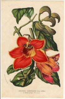 1852年 Van Houtte ヨーロッパの植物 ノウゼンカズラ科 カエンボク属 カエンボク Spathodea campanulata Paliss de Beauv