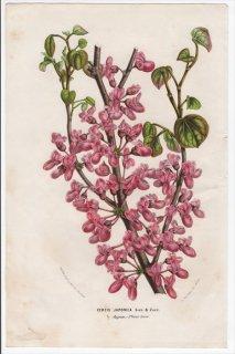 1852年 Van Houtte ヨーロッパの植物 マメ科 ハナズオウ属 ハナズオウ Cercis japonica