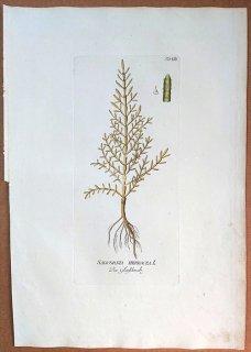 1788年 Plenck Icones Plantarum Medicinalium Tab.8 ヒユ科 アッケシソウ属 アッケシソウ SALICORNIA HERBACEA