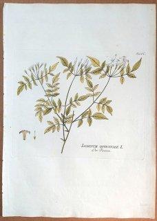 1788年 Plenck Icones Plantarum Medicinalium Tab.9 モクセイ科 ソケイ属 ソケイ IASMINUM OFFICINALE ジャスミン