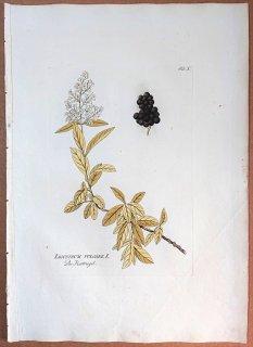 1788年 Plenck Icones Plantarum Medicinalium Tab.10 モクセイ科 ハシドイ属 ライラック LIGUSTRUM VULGARE ムラサキハシドイ