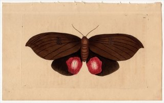 1798年 Shaw & Nodder Naturalist's Miscellany No.300 ヤガ科 ゴルゴネ属 PHALAENA AUGUSTA