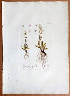 1788年 Plenck Icones Plantarum Medicinalium Tab.29 スイカズラ科 カノコソウ属 VALERIANA CELTICA