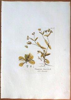 1788年 Plenck Icones Plantarum Medicinalium Tab.30 スイカズラ科 ノヂシャ属 ノヂシャ VALERIANA LOCUSTA