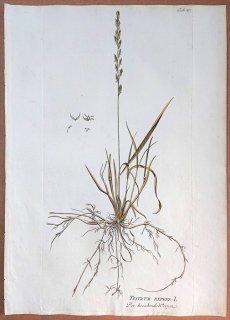 1788年 Plenck Icones Plantarum Medicinalium Tab.49 イネ科 エゾムギ属 シバムギ TRITICUM REPENS