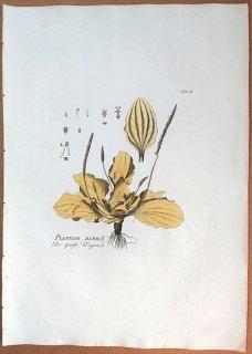 1788年 Plenck Icones Plantarum Medicinalium Tab.58 オオバコ科 オオバコ属 セイヨウオオバコ PLANTAGO MAJOR