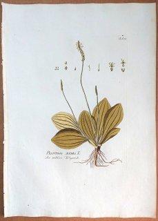 1788年 Plenck Icones Plantarum Medicinalium Tab.59 オオバコ科 オオバコ属 PLANTAGO MEDIA