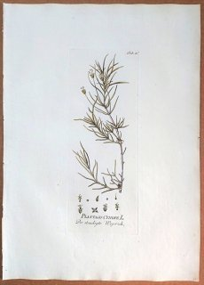 1788年 Plenck Icones Plantarum Medicinalium Tab.61 オオバコ科 オオバコ属 PLANTAGO CYNOPS