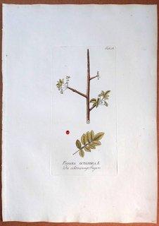 1788年 Plenck Icones Plantarum Medicinalium Tab.65 カンラン科 ブルセラ属 FAGARA OCTANDRA