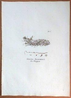 1788年 Plenck Icones Plantarum Medicinalium Tab.71 ヒルガオ科 ネナシカズラ属 ツメクサダオシ CUSCUTA EPITHYMUM