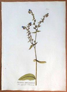 1788年 Plenck Icones Plantarum Medicinalium Tab.79 ムラサキ科 ウシノシタグサ属 アルカネット ANCHUSA OFFICINARUM