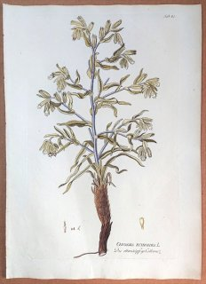 1788年 Plenck Icones Plantarum Medicinalium Tab.81 ムラサキ科 オノスマ属 ONOSMA ECHIOIDES