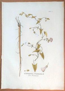 1788年 Plenck Icones Plantarum Medicinalium Tab.92 ヒルガオ科 セイヨウヒルガオ属 CONVOLVULUS SCAMMONIA