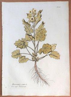 1788年 Plenck Icones Plantarum Medicinalium Tab.98 ナス科 ヒヨス属 HYOSCIAMUS ALBUS