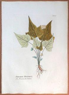 1789年 Plenck Icones Plantarum Medicinalium Tab.103 クワ科 ドルステニア属 DORSTENIA HOUSTONI
