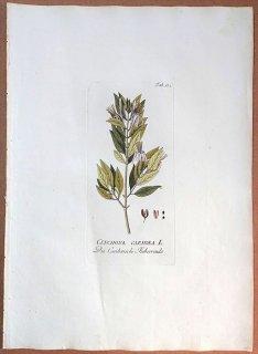 1789年 Plenck Icones Plantarum Medicinalium Tab.132 アカネ科 エクソステマ属 CINCHONA CARIBAEA