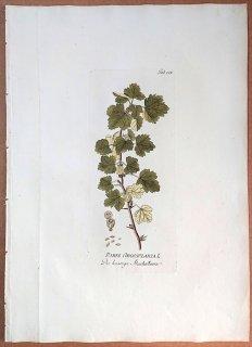 1789年 Plenck Icones Plantarum Medicinalium Tab.148 スグリ科 スグリ属 セイヨウスグリ RIBES GROSSULARIA