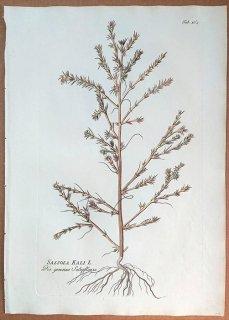 1789年 Plenck Icones Plantarum Medicinalium Tab.162 ヒユ科 オカヒジキ属 SALSOLA KALI