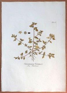 1789年 Plenck Icones Plantarum Medicinalium Tab.167 ヒユ科 アカザ属 CHENOPODIUM VULVARIA