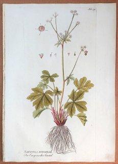 1789年 Plenck Icones Plantarum Medicinalium Tab.174 セリ科 ウマノミツバ属 SANICULA EUROPAEA
