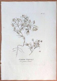 1789年 Plenck Icones Plantarum Medicinalium Tab.192 セリ科 クミン属 クミン CUMINUM CYMINUM