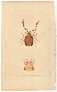1791年 Shaw & Nodder Naturalist's Miscellany No.85 カニムシ科 ケリフェル属 CANCROID PHALANGIUM