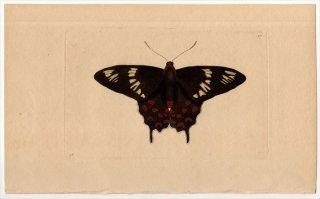 1796年 Shaw & Nodder Naturalist's Miscellany No.271 アゲハチョウ科 ベニモンアゲハ属 ヘクトールベニモンアゲハ PAPILIO HECTOR