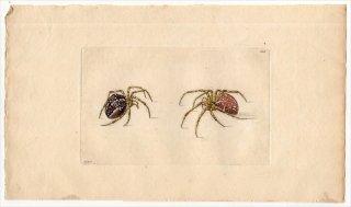 1798年 Shaw & Nodder Naturalist's Miscellany No.308 コガネグモ科 オニグモ属 ARANEA DIADEMA