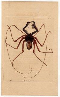 1799年 Shaw & Nodder Naturalist's Miscellany No.394 ウデムシ科 フリヌス属 PHALANGIUM RENIFORME